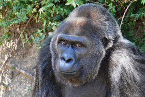 В Арканзасе умерла старейшая вмире горилла-невольница