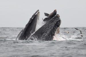 Кит заглатывает морского льва: снимок американского фотографа