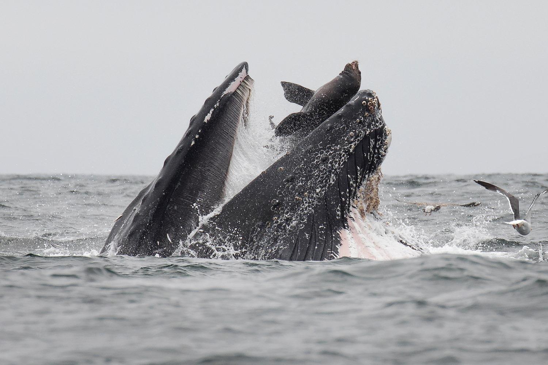 Кит заглатывает морского льва: снимок американского фотографа.Вокруг Света. Украина