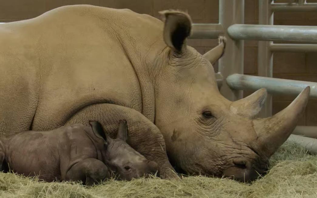 В США родился носорог из пробирки.Вокруг Света. Украина