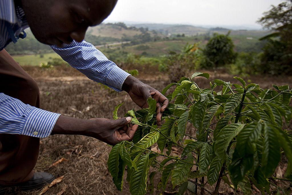 В Эфиопии посадили 350 млн деревьев за 12 часов