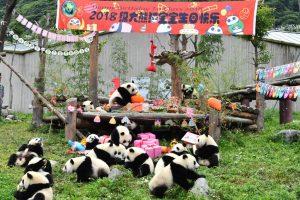 Панда-вечеринка в китайском заповеднике: 18 детенышей празднуют свои первые дни рождения