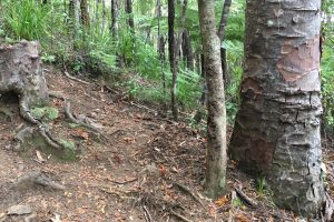 В новозеландском лесу найден пень-вампир