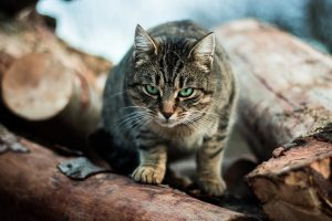 Кошки в Австралии убивают более 2 миллиардов диких животных каждый год