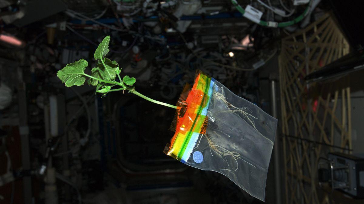 Астронавты будут выращивать перец чили на МКС