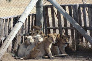 Тысячи тигров и львов убивают ради препаратов традиционной медицины