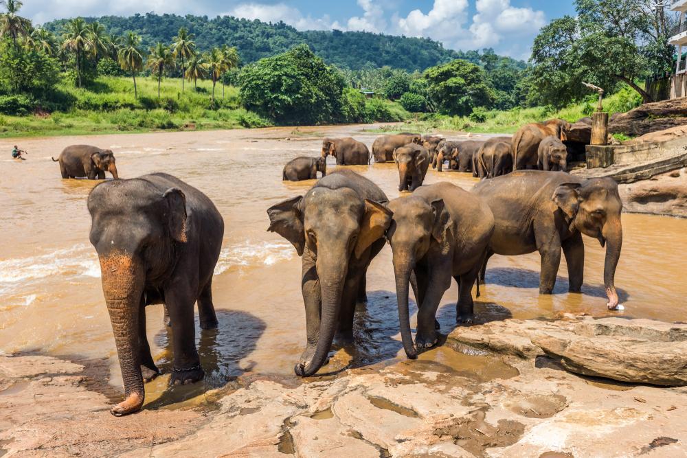 Слоны-подростки научились объединяться в банды, чтобы противостоять браконьерам