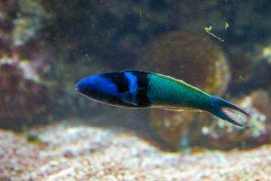 Ученые выяснили, как рыбы меняют пол при жизни
