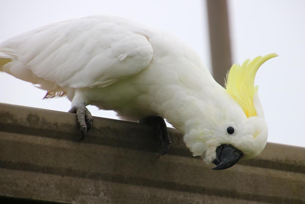 Какаду застукали, когда он срывал с крыши защитные шипы против птиц