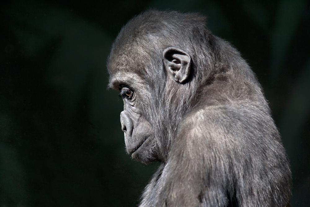 У обезьян есть осознание смерти, скорбные ритуалы и траур по погибшим