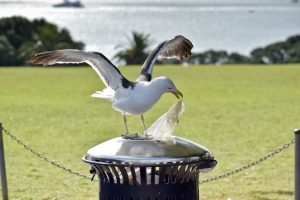 Австралийские чайки переносят устойчивые к антибиотикам бактерии