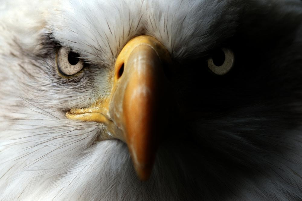 $12500 обещано за информацию о похищенном на Лонг-Айленде белоголовом орлане