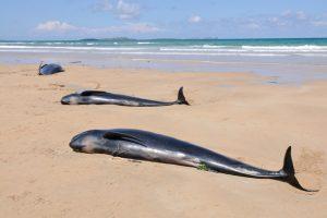 В США на берег выбросило десятки черных дельфинов - пляжники пришли на помощь