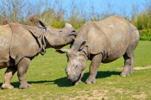 В Нидерландах зрелые самки будут учить молодого носорога искусству любви