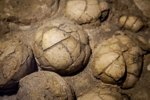 Китайский мальчик нашел 11 яиц динозавров