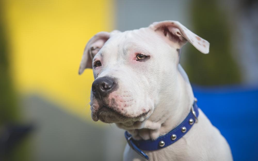 В России бездомный пёс украл породистого