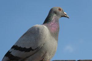 В Индонезии гоночного голубя продали за $100 000