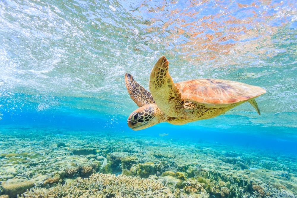 Из-за изменения климата среди черепах Кабо-Верде останутся только самки