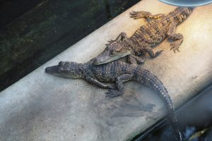 В Харьковском зоопарке родились крокодильчики