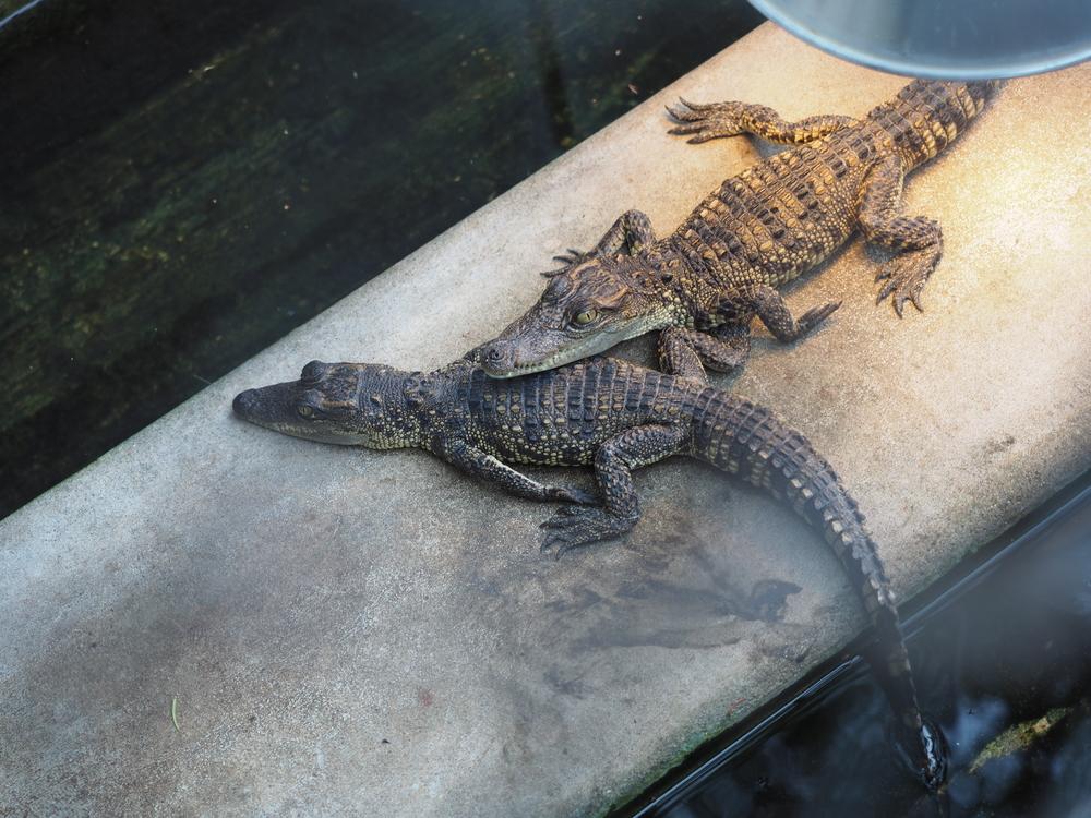 В Харьковском зоопарке родились крокодильчики.Вокруг Света. Украина