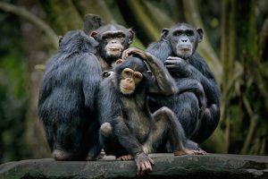 Шимпанзе становятся общительнее после совместного просмотра фильма