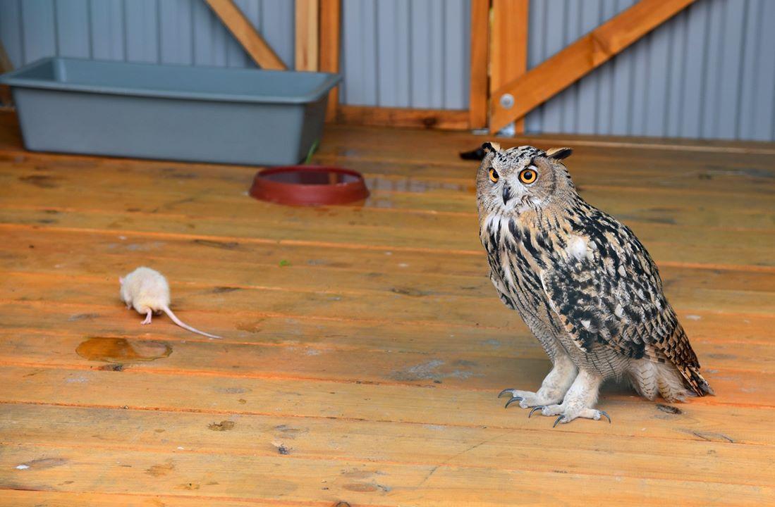 Одесскую область заселяют краснокнижной сказочной совой