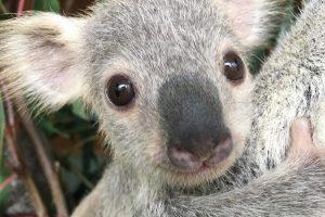 В Австралии выбрали самую милую коалу