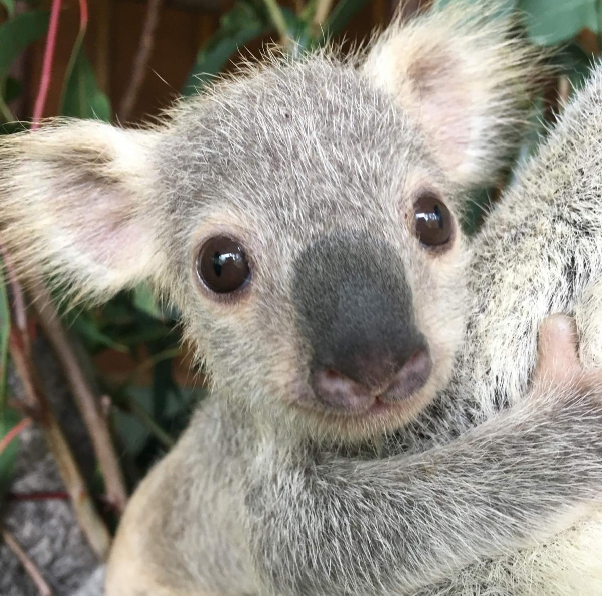 В Австралии выбрали самую милую коалу.Вокруг Света. Украина