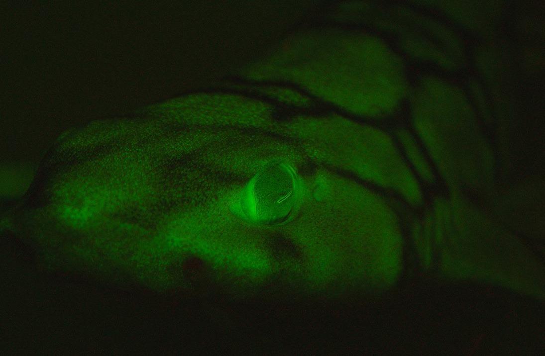 Почему некоторые акулы светятся зеленым в темноте?