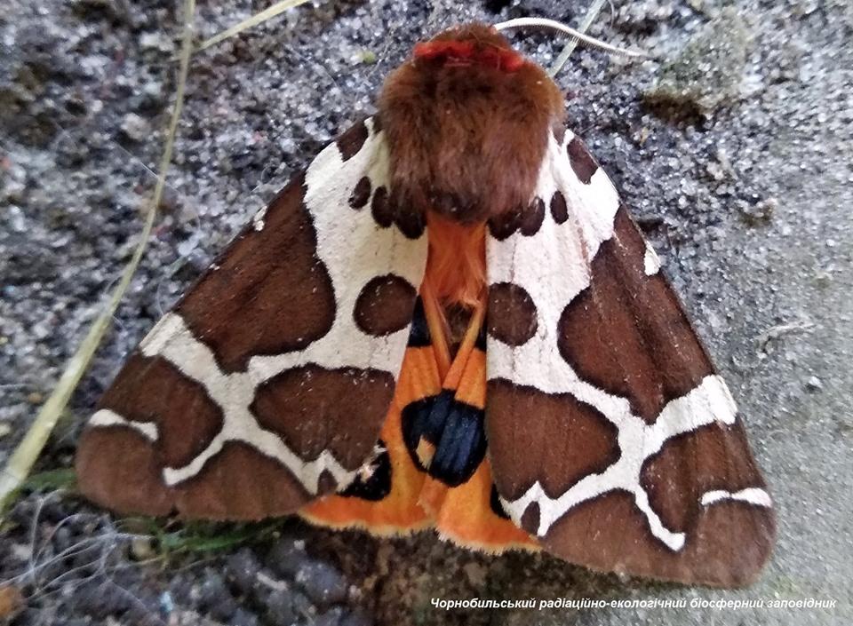 Медведица с крыльями – в зоне ЧАЭС замечена мохнатая опасная бабочка