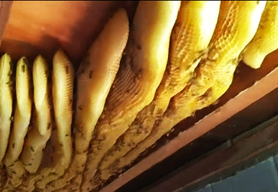 В Австралии под потолком дома нашли огромный улей