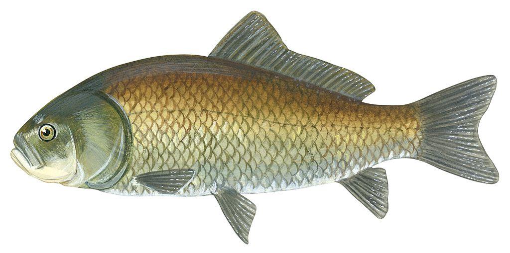 В Северной Америке пресноводные рыбы побили рекорд долголетия