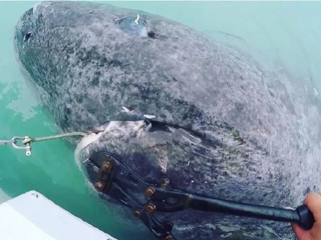 В Гренландии поймали самую старую акулу в мире