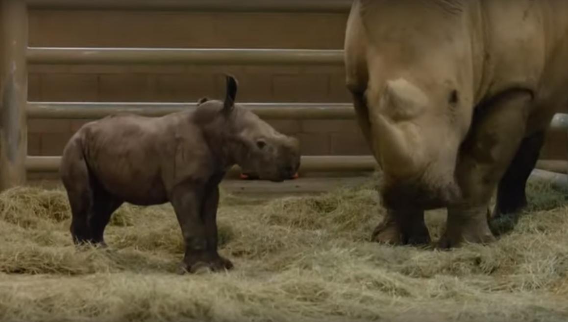 В США показали первого детеныша южного носорога, рожденного из пробирки.Вокруг Света. Украина