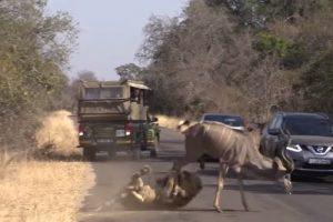 В ЮАР львы охотятся с помощью авто туристов