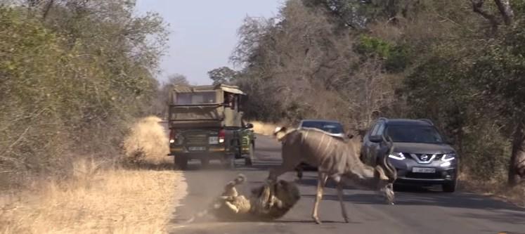 В ЮАР львы охотятся с помощью авто туристов.Вокруг Света. Украина