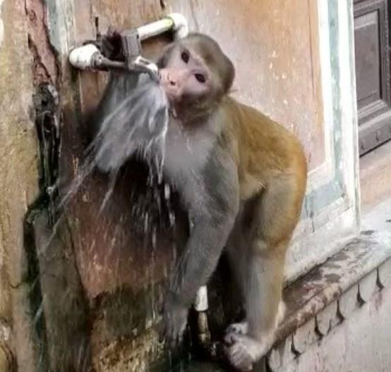 В Индии обезьяна призвала экономить воду.Вокруг Света. Украина