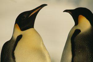В Берлине пара пингвинов-самцов «усыновила» брошенное яйцо