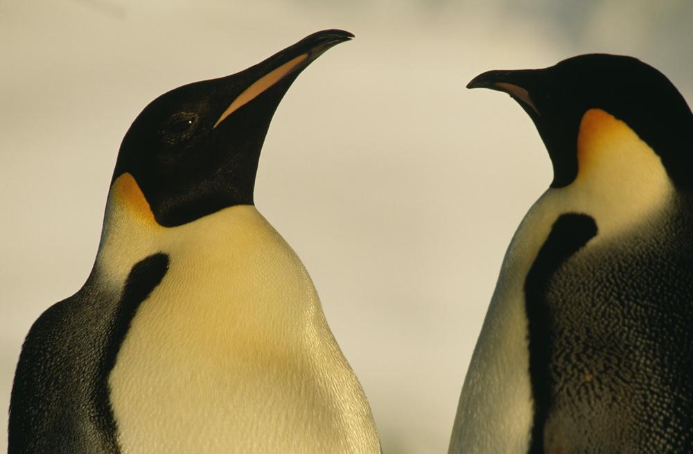 В Берлине пара пингвинов-самцов «усыновила» брошенное яйцо .Вокруг Света. Украина