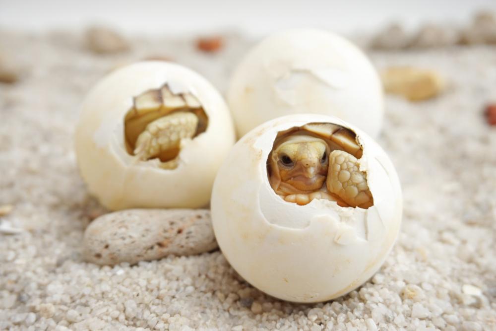 Эмбрионы черепах меняют собственный пол, двигаясь в яйце