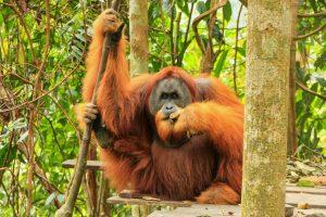 Орангутанов научили играть на народном музыкальном инструменте