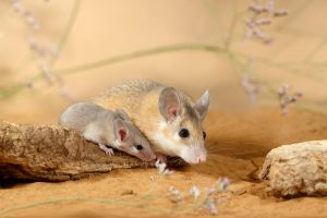 Мыши попали в Африку с Аравийского полуострова - ученые
