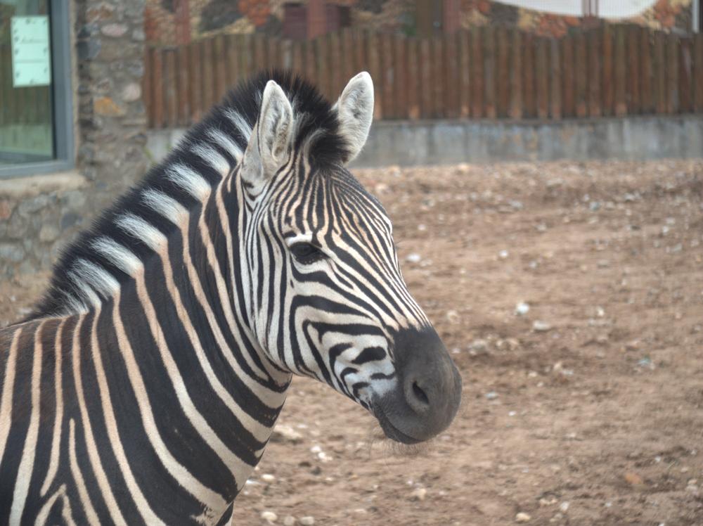 Из экопарка в Харькове сбежала зебра