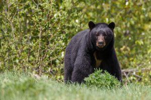 В США удирающий медведь проломил стену дома