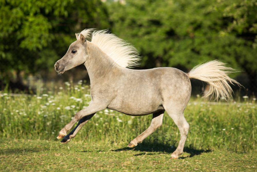 В США разрешили брать в самолет миниатюрных лошадей