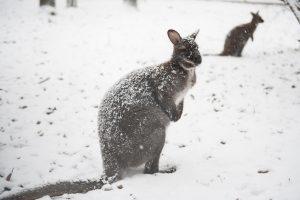Кенгуру на снегу: в Австралии прошел мощный снегопад