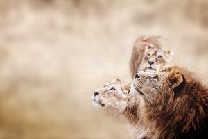 Вырождение африканских львов ведет к краху экосистемы