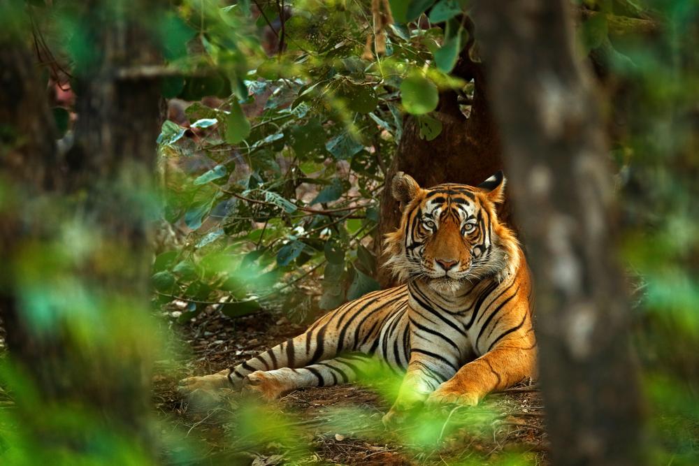 В Индии стало больше тигров.Вокруг Света. Украина