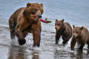 На Камчатке голодные медведи заблокировали туристический маршрут