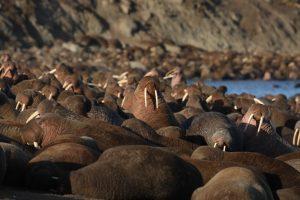 Тысячи моржей появились у берегов Аляски раньше, чем обычно